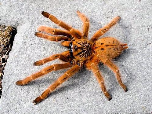 "Pterinochilus murinus ""RCF"""