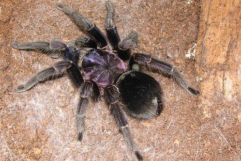 "Phormictopus sp. Bayahibe ""Violet"""