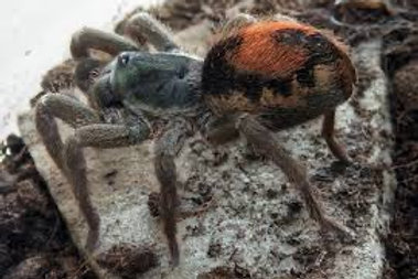 Neostenotarsus sp. Suriname