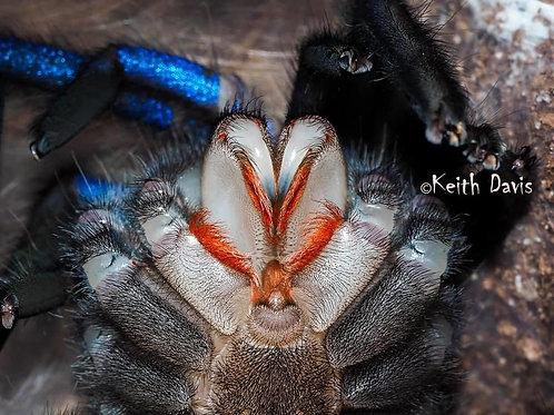 """Chilobrachys sp. """"electric blue"""""""