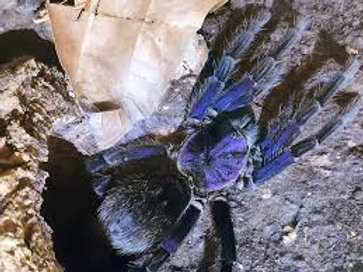"Phormictopus sp Dominican Violet ""Purple"""