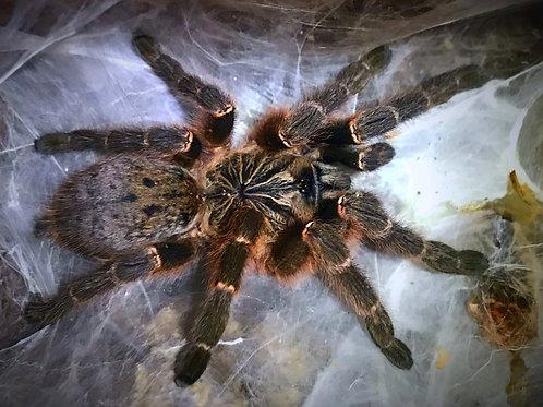 "Pterinochilus murinus DCF ""Kigoma"""