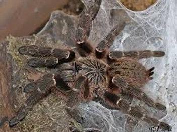 "Pterinochilus murinus DCF ""Mikumi"""