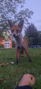 P21   College Fox