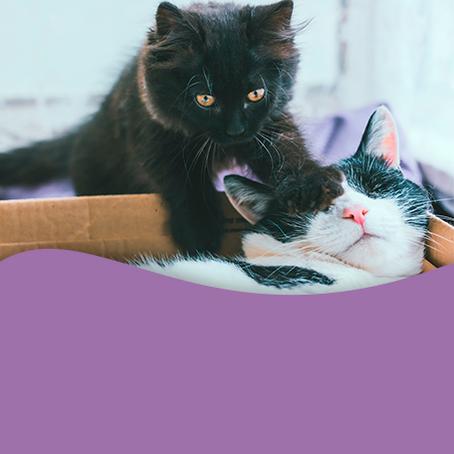 Como adaptar mais um gato na casa