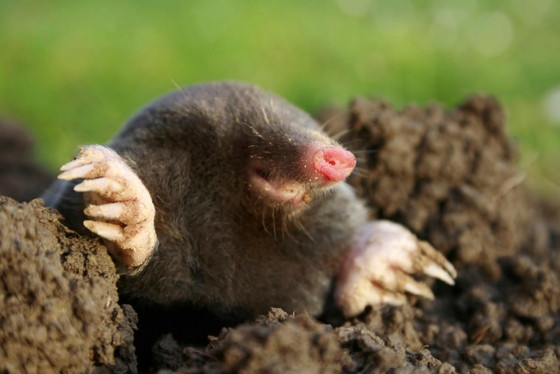 4/ There's a mole on the loose...