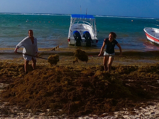 In 2018, a sargassum crisis hit the Caribbean Sea, causing catastrophic damage to the reefs.