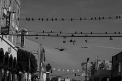 Birds on the Wire - Venice
