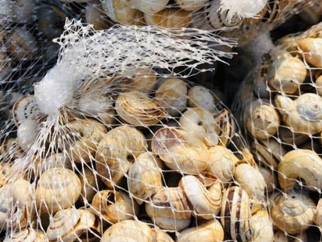 Babbalùciu (Pisan Helix) Sicilian Recipe