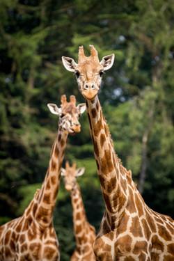 Giraffen trio