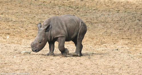 Baby rhino Naomi