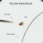 Flea Size Comparison