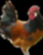 poule race vorwerk