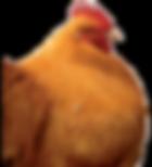 poule race orpington
