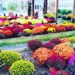 Brightly colored mums