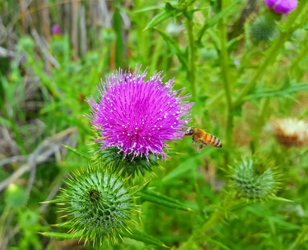 Flower with bee Photo by Kevin Rice, MD