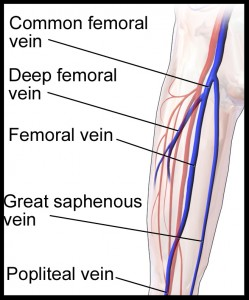 Venous anatomy of the lower extremity demonstrating the femoral vein anatomy