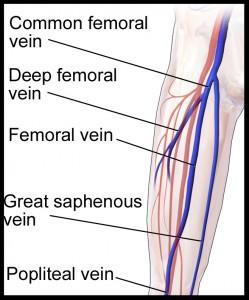 Femoral vein anatomy