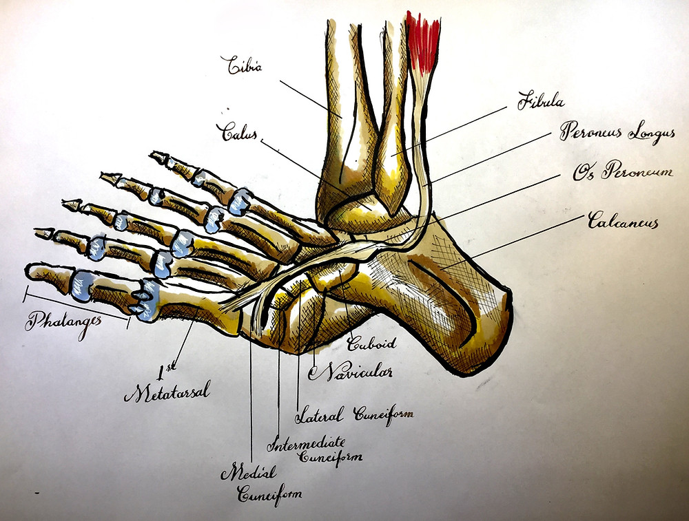 Painful Os Peroneum Syndrome (POPS) Illustration with Normal Peroneus Longus Tendon