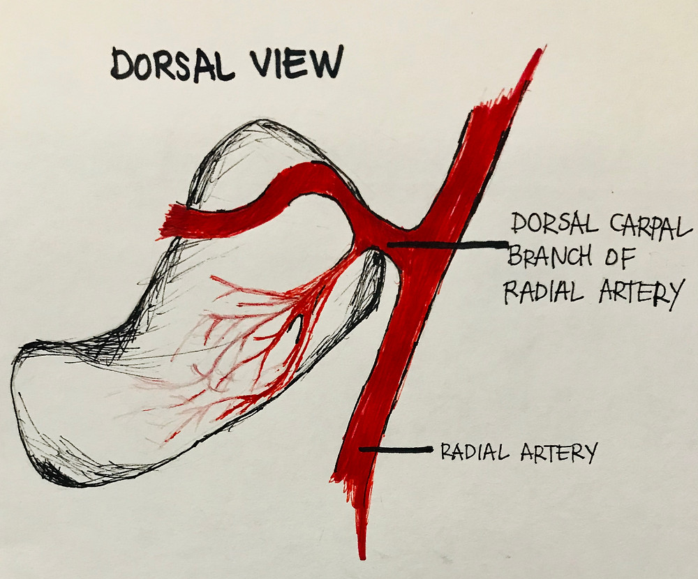 Diagram Dorsal View Scaphoid Blood Supply