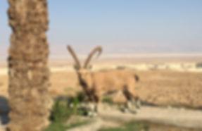 Ibex at Masada - Photo by Kevin Rice