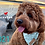 Thumbnail: Cavoodle Love 2021 Calendar