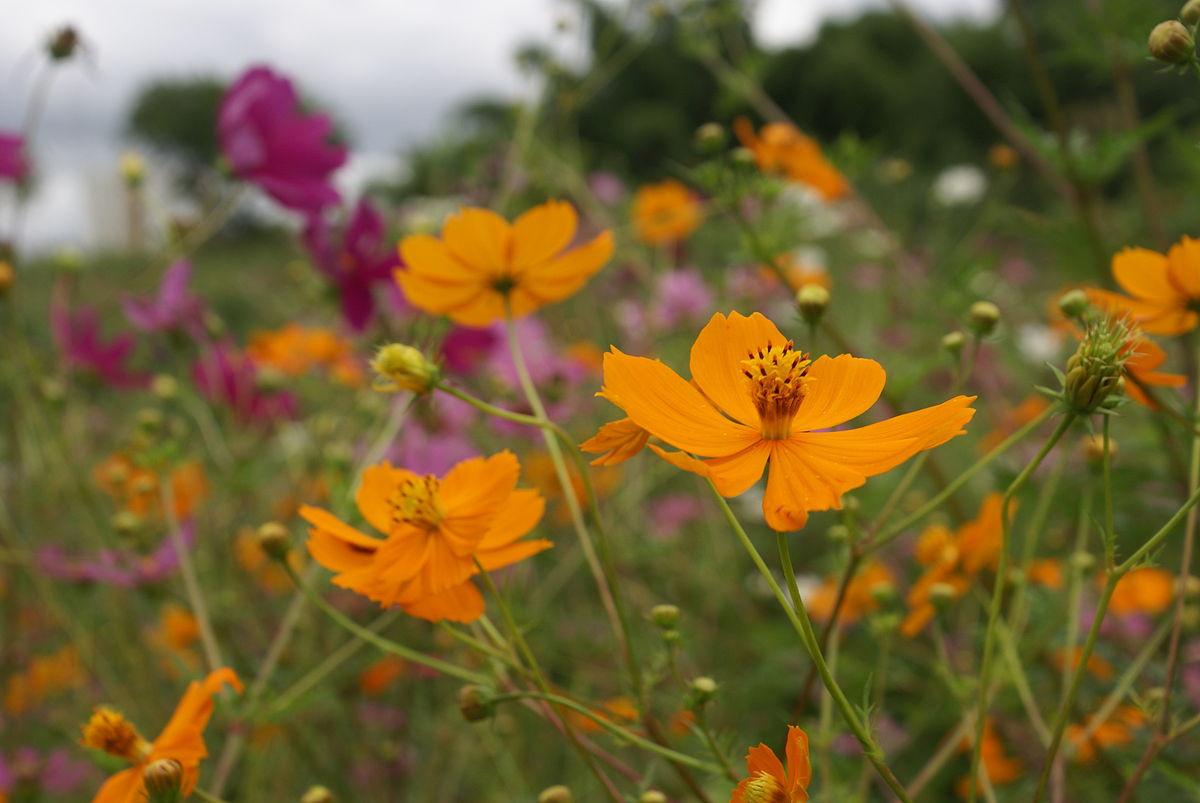 1200px-Cosmos_sulphureus_flowers.jfif