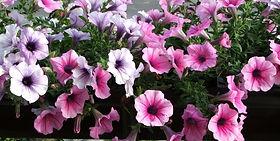 Petunia_x_hybrida_a1.jfif