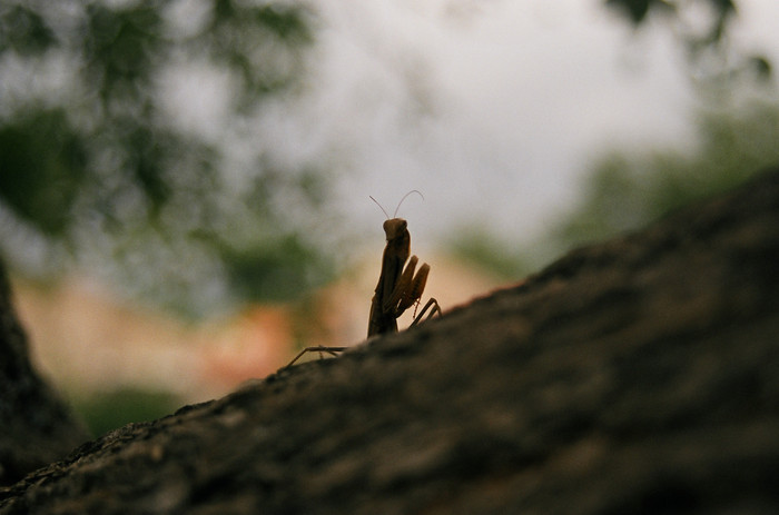 Mantis, Croatia