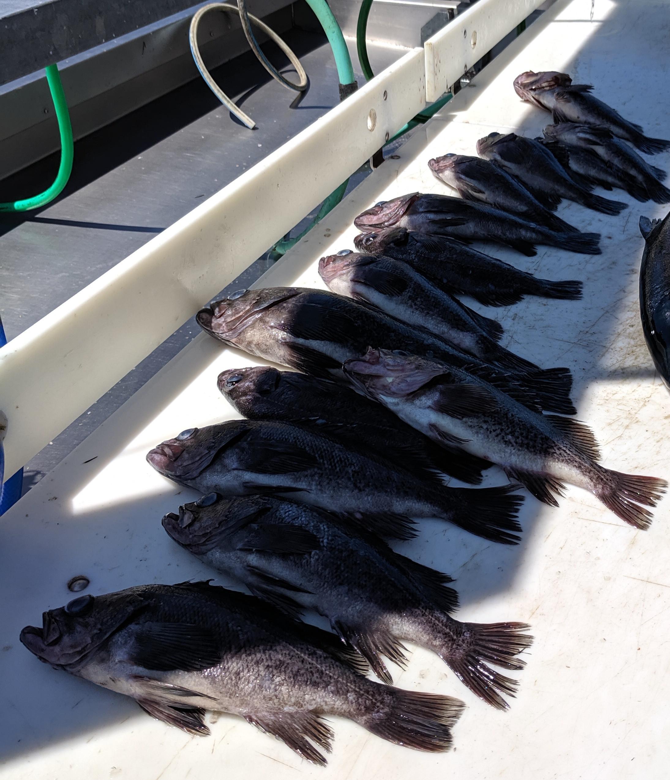 Rockfish / Ling Cod Fishing