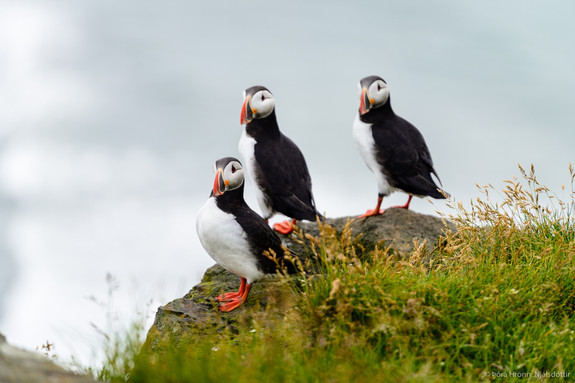 Three Puffins in Iceland