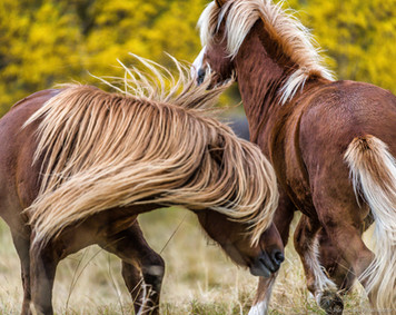 Icelandic horses playing around