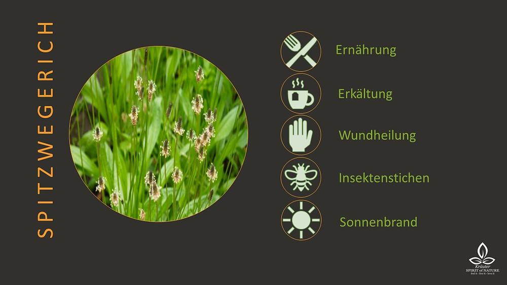 Spitzwegerich bei Erkältung Wundheilung Verletzung Insektenstich