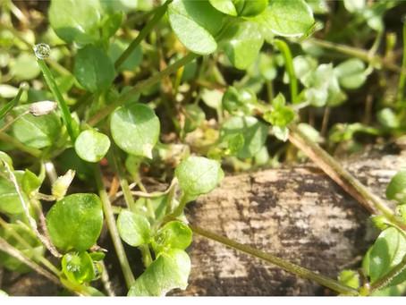 Vogelmiere - zartes Heilkraut mit starken Eigenschaften