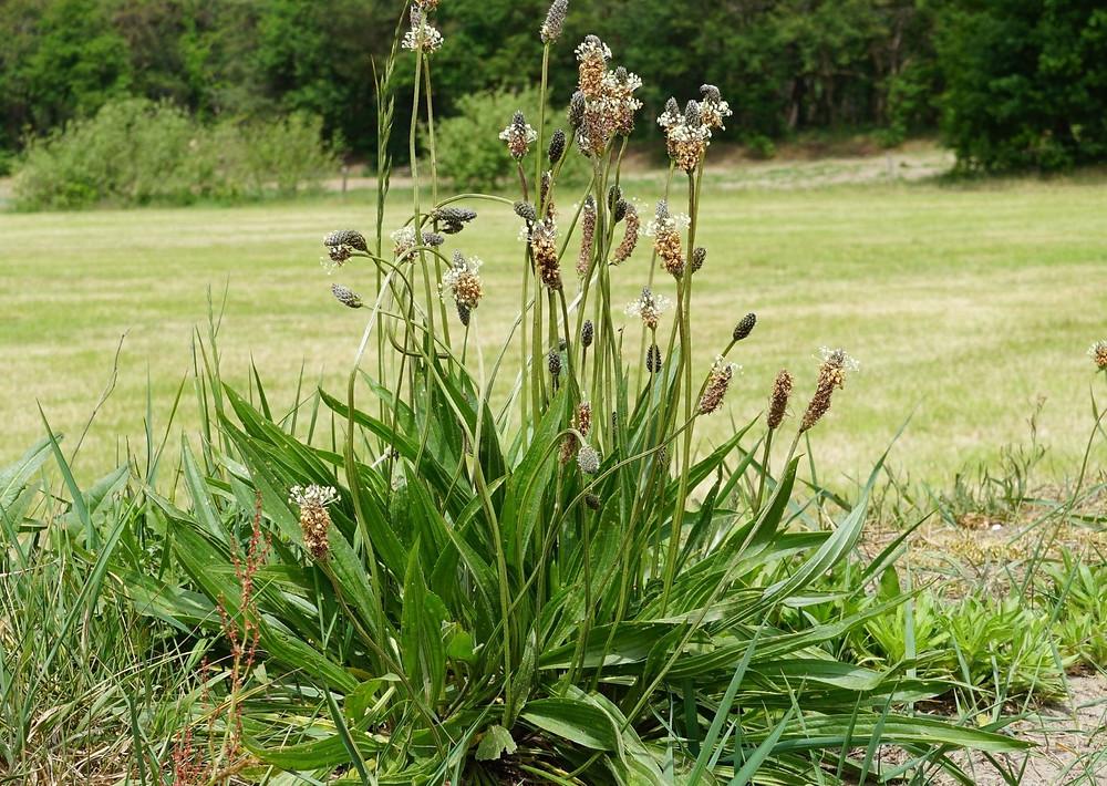 Spitzwegerich Blatt Blüte Wuchs Standort