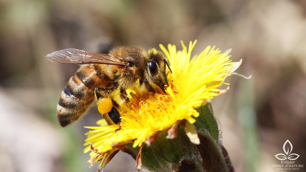 Huflattich Bienen Insekten Wildkräuter Wildblumen