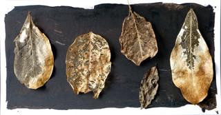 Leaf Collection  - Karaka Leaf Skeletons
