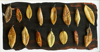 Leaf Collection - Pohutukawa leaves
