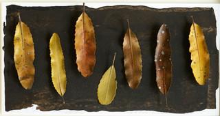 Leaf Collection - Rewarewa Leaves