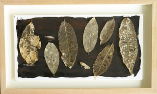Leaf Collection - Mahoe Skeletons