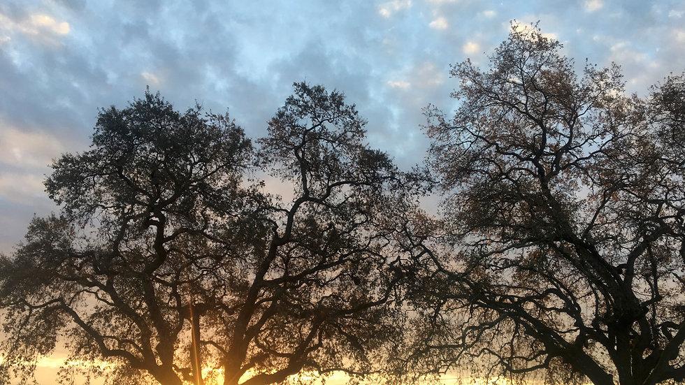 Oak Tree - Napa