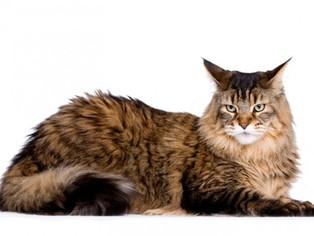 Evento reunirá 150 gatos de 17 raças no Rio de Janeiro