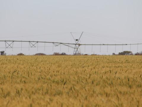 Trigo irrigado bate recorde de produtividade em Goiás