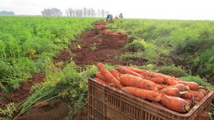 Com melhor produtividade, preços da cenoura tiveram recuo de 6%