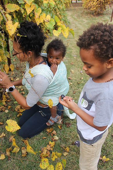 Babywearing and picking grapes