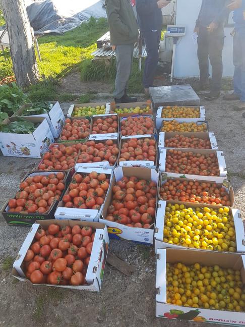 עגבניות תוצרת מקומית