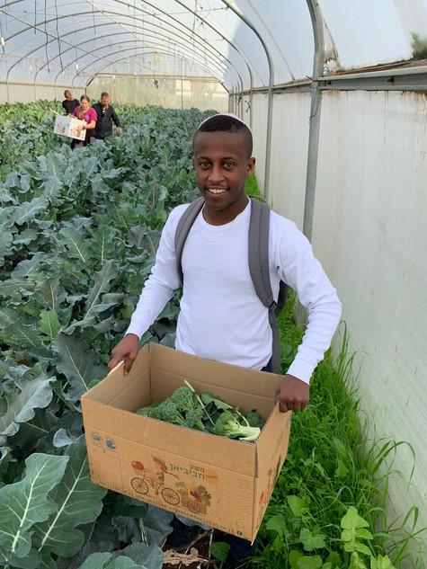 Harvest of fresh organic broccoli