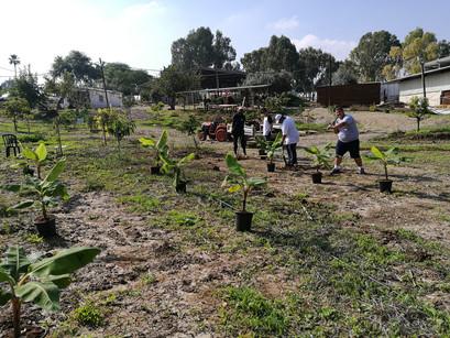 Planting bananas