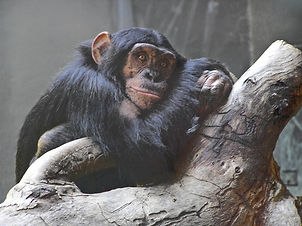 daydreaming-chimpanzee-1553285.jpg