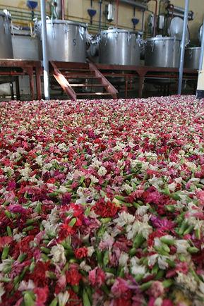 7. Carnation Harvest.JPG
